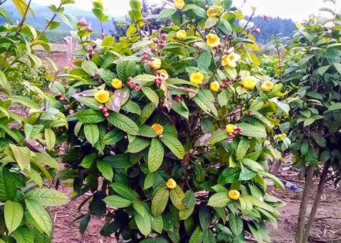 Hình dáng của cây trà hoa vàng